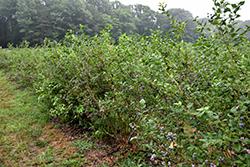 Bluecrop Blueberry (Vaccinium corymbosum 'Bluecrop') at Roger's Gardens