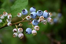 Highbush Blueberry (Vaccinium corymbosum) at Roger's Gardens