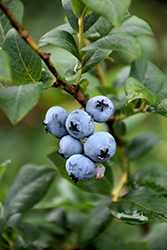 Berkeley Blueberry (Vaccinium corymbosum 'Berkeley') at Roger's Gardens