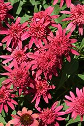 Double Scoop Raspberry Coneflower (Echinacea 'Balsceras') at Roger's Gardens