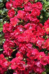 Red Drift Rose (Rosa 'Meigalpio') at Roger's Gardens