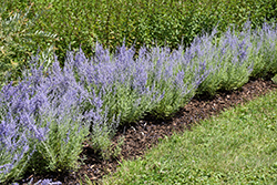 Lacey Blue Russian Sage (Perovskia atriplicifolia 'Lacey Blue') at Roger's Gardens