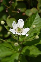 Baby Cakes Blackberry (Rubus 'APF-236T') at Roger's Gardens