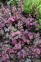 Carnival Candy Apple Coral Bells (Heuchera 'Candy Apple') at Roger's Gardens