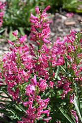 Rock Candy Ruby Beard Tongue (Penstemon 'Novapenrub') at Roger's Gardens