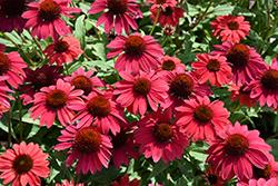 Sombrero Baja Burgundy Coneflower (Echinacea 'Balsombabur') at Roger's Gardens
