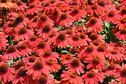 Sombrero Salsa Red Coneflower (Echinacea 'Balsomsed') at Roger's Gardens
