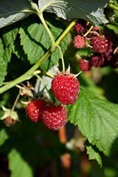 Willamette Raspberry (Rubus 'Willamette') at Roger's Gardens