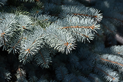 Baby Blue Blue Spruce (Picea pungens 'Baby Blue') at Roger's Gardens