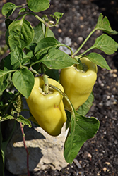 Yellow Sparkler Sweet Pepper (Capsicum annuum 'Yellow Sparkler') at Roger's Gardens