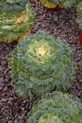 Kamome White Kale (Brassica oleracea var. acephala 'Kamome White') at Roger's Gardens
