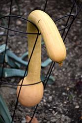 Canada Crookneck Squash (Cucurbita moschata 'Canada Crookneck') at Roger's Gardens