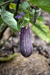 Fairy Tale Eggplant (Solanum melongena 'Fairy Tale') at Roger's Gardens