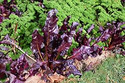 Joy's Midnight Swiss Chard (Beta vulgaris var. cicla 'Joy's Midnight') at Roger's Gardens