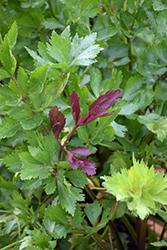 Pink Plume Celery (Apium graveolens 'Pink Plume') at Roger's Gardens