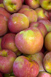 Evercrisp Apple (Malus 'MAIA-1') at Roger's Gardens