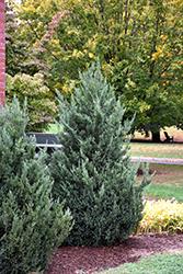 Blue Haven Juniper (Juniperus scopulorum 'Blue Haven') at Roger's Gardens