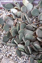 Beavertail Prickly Pear Cactus (Opuntia basilaris) at Roger's Gardens