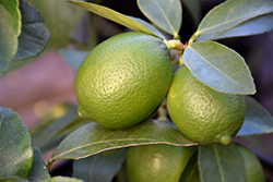 Bearss Seedless Lime (Citrus aurantifolia 'Bearss Seedless') at Roger's Gardens