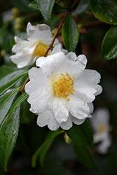 Setsugekka Camellia (Camellia sasanqua 'Setsugekka') at Roger's Gardens