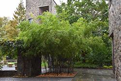 Black Bamboo (Phyllostachys nigra) at Roger's Gardens