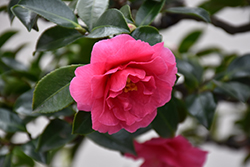 Shishigashira Camellia (Camellia sasanqua 'Shishigashira') at Roger's Gardens