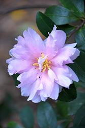 Jean May Camellia (Camellia sasanqua 'Jean May') at Roger's Gardens