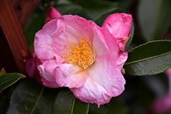 Apple Blossom Camellia (Camellia sasanqua 'Apple Blossom') at Roger's Gardens