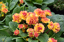 BELARINA NECTARINE Primrose (Primula vulgaris 'Kerbelnec') at Roger's Gardens