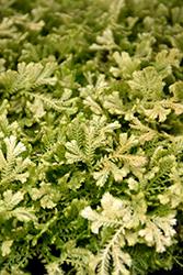 Krauss' Spikemoss (Selaginella kraussiana) at Roger's Gardens