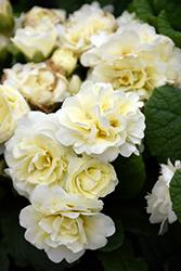 BELARINA CREAM Primrose (Primula vulgaris 'Kerbelcrem') at Roger's Gardens