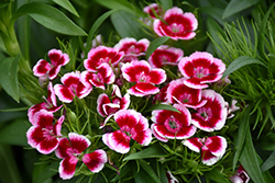 Red Picotee Sweet William (Dianthus barbatus 'Red Picotee') at Roger's Gardens