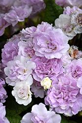 BELARINA PINK ICE Primrose (Primula vulgaris 'Kerbelpice') at Roger's Gardens