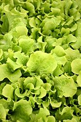 Black Seeded Simpson Lettuce (Lactuca sativa var. crispa 'Black Seeded Simpson') at Roger's Gardens