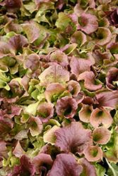 Red Sails Leaf Lettuce (Lactuca sativa var. crispa 'Red Sails') at Roger's Gardens