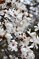 Merrill Magnolia (Magnolia x loebneri 'Merrill') at Roger's Gardens