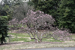 Rubra Red Star Magnolia (Magnolia stellata 'Rubra') at Roger's Gardens