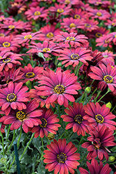 Zion Red African Daisy (Osteospermum 'Zion Red') at Roger's Gardens