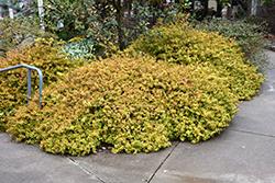 Kaleidoscope Abelia (Abelia x grandiflora 'Kaleidoscope') at Roger's Gardens