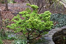 Mikawa Yatsubusa Japanese Maple (Acer palmatum 'Mikawa Yatsubusa') at Roger's Gardens