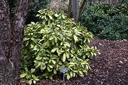 Crotonifolia Aucuba (Aucuba japonica 'Crotonifolia') at Roger's Gardens