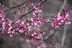 Silver Cloud Redbud (Cercis canadensis 'Silver Cloud') at Roger's Gardens