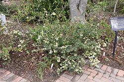 Snow Muffin Chinese Fringeflower (Loropetalum chinense 'Snowmound') at Roger's Gardens