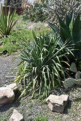 Granted Wish Yucca (Yucca louisianensis 'Granted Wish') at Roger's Gardens