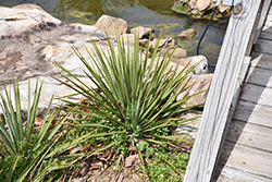 Thompson's Yucca (Yucca thompsoniana) at Roger's Gardens