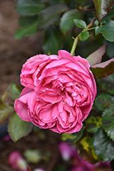 Pretty In Pink Eden Rose (Rosa 'Margaret Mae') at Roger's Gardens