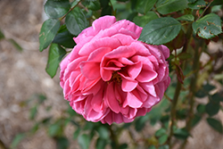 Dee-Lish Rose (Rosa 'Meiclusif') at Roger's Gardens