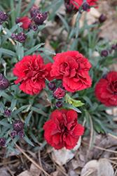 Sunflor Dynamite Carnation (Dianthus caryophyllus 'HILDYNA') at Roger's Gardens