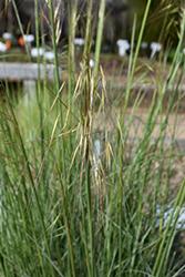 Golden Oats (Stipa gigantea) at Roger's Gardens