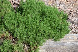Green Lavender Cotton (Santolina rosmarinifolia) at Roger's Gardens